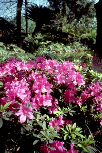 In the early 1900s, western plant explorers discovered many rhododendron species in China.