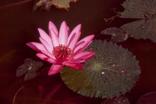 There are about 40 species of water lily in the world, plus many hybrids and varieties.