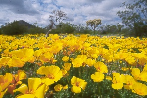 Mexican gold poppies (Eschscholtzia mexicana)